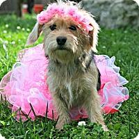 Adopt A Pet :: Dolly (1 yr 12-14 lb) - Blakeslee, PA