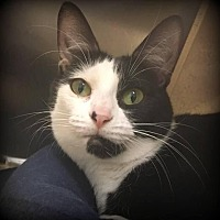 Domestic Shorthair Cat for adoption in St. Louis, Missouri - Bettina