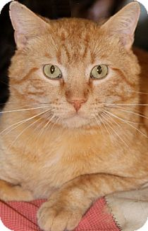 Domestic Shorthair Cat for adoption in Savannah, Missouri - Liam