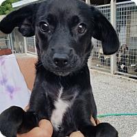 Adopt A Pet :: Chim Chim Cherroo - Harmony, Glocester, RI