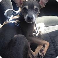 Adopt A Pet :: Pinto - Sanford, NC