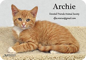 Domestic Shorthair Kitten for adoption in Ortonville, Michigan - Archie