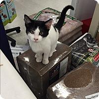 Domestic Shorthair Kitten for adoption in Rochester, Minnesota - Spot