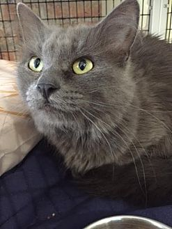 Domestic Mediumhair Cat for adoption in Chicago, Illinois - Gary Shandling