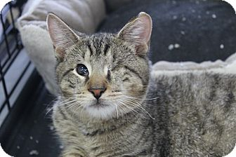 Domestic Shorthair Kitten for adoption in North Haledon, New Jersey - Patchy