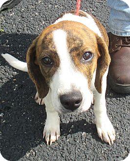 Hound (Unknown Type) Mix Puppy for adoption in Reeds Spring, Missouri - Shirley