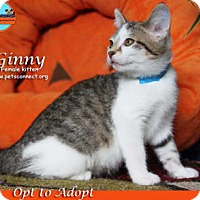 Domestic Shorthair Kitten for adoption in South Bend, Indiana - Ginny