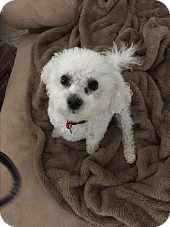 Bichon Frise Dog for adoption in Glastonbury, Connecticut - Max