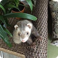 Adopt A Pet :: Miko - Paramus, NJ