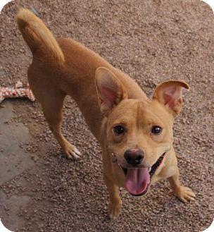 Labrador Retriever Mix Dog for adoption in Phoenix, Arizona - Captain