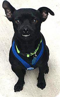 "Pug/Chihuahua Mix Dog for adoption in Seattle, Washington - ""Chuggy"""