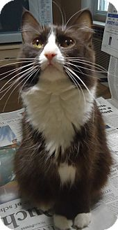 Domestic Shorthair Cat for adoption in Riverside, Rhode Island - Diamond