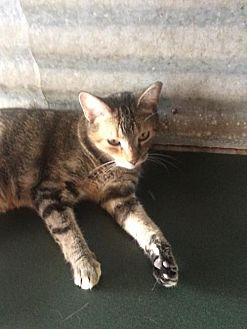 Domestic Mediumhair Cat for adoption in Thibodaux, Louisiana - Noel FE2-9455