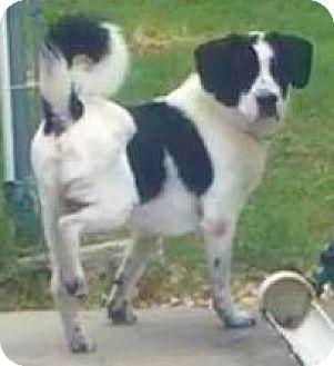 Border Collie/English Springer Spaniel Mix Dog for adoption in Aiken, South Carolina - Hiatt