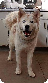 Siberian Husky Dog for adoption in Omaha, Nebraska - Henry