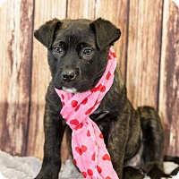 Adopt A Pet :: Piper - Little Rock, AR