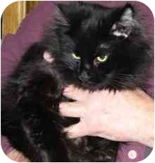 Domestic Mediumhair Cat for adoption in Fayette, Missouri - Pocus