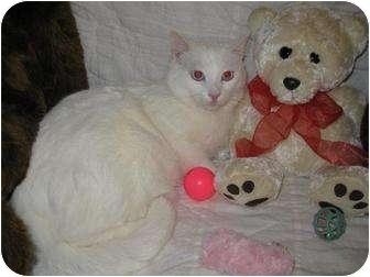 Siamese Cat for adoption in Poway, California - Cinderella