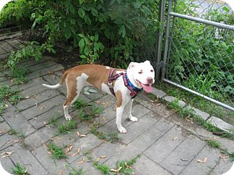 Pit Bull Terrier Mix Dog for adoption in Staatsburg, New York - Chrissy **CROSSPOST**