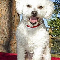 Bichon Frise Mix Dog for adoption in Alvin, Texas - Clarke--sweet bichon boy---S