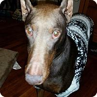 Adopt A Pet :: DeeDee--pending - New Richmond, OH