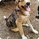 Adopt A Pet :: Simon ($275 Adoption fee)