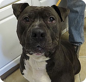 Pit Bull Terrier Mix Dog for adoption in Middletown, New York - Shadow