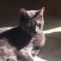 Calico Cat for adoption in Thibodaux, Louisiana - Wilma FE2-9107