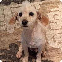 Adopt A Pet :: Oso - Lewisville, TX