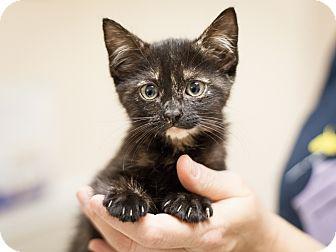 Domestic Shorthair Kitten for adoption in Dallas, Texas - Skittles