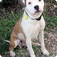 Adopt A Pet :: SUNSHINE - Westminster, CO
