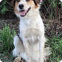 Adopt A Pet :: SUZETTE - Westminster, CO
