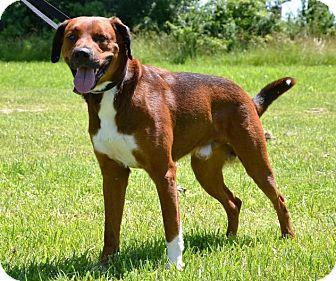 Boxer/Shepherd (Unknown Type) Mix Dog for adoption in DuQuoin, Illinois - Jameson
