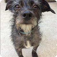 Adopt A Pet :: Shifu - Encino, CA