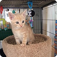Adopt A Pet :: Buff tan male tiger kitten - Manasquan, NJ