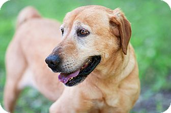 Labrador Retriever Mix Dog for adoption in Brattleboro, Vermont - Honey