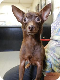 Chihuahua Mix Dog for adoption in Anniston, Alabama - Coco