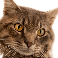 Domestic Shorthair Cat for adoption in Chaska, Minnesota - Bandit