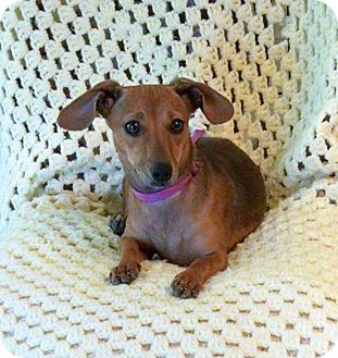 Dachshund/Chihuahua Mix Puppy for adoption in Palestine, Texas - Gretchen doxie mix puppy