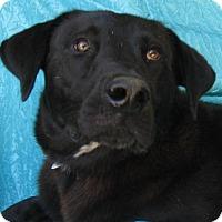 Labrador Retriever Mix Dog for adoption in Cuba, New York - Chief Watkins