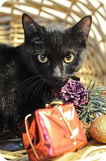 Domestic Shorthair Kitten for adoption in Wayne, New Jersey - J.T. Kirk