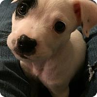 Adopt A Pet :: Trick - Frederick, MD