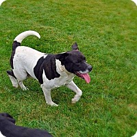 American Bulldog/Labrador Retriever Mix Dog for adoption in Portland, Indiana - Sarge