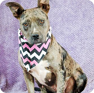 Catahoula Leopard Dog Mix Dog for adoption in Seabrook, New Hampshire - April