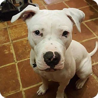 American Bulldog/Pit Bull Terrier Mix Dog for adoption in Seattle, Washington - Snow