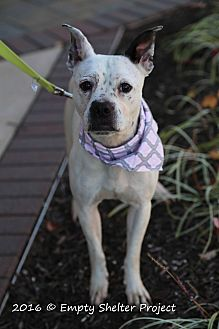 Boston Terrier/American Bulldog Mix Dog for adoption in Manassas, Virginia - Bella