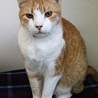 Domestic Shorthair Cat for adoption in Fremont, Ohio - Marco