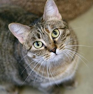 Domestic Shorthair Cat for adoption in Mission Viejo, California - Pumpkin Spice