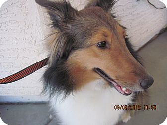 Sheltie, Shetland Sheepdog Dog for adoption in apache junction, Arizona - Layah