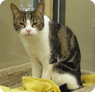 Domestic Shorthair Cat for adoption in Wickenburg, Arizona - Lauren